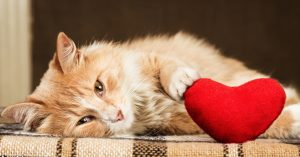 Ginger fluffy cat is playful touching soft toy heart
